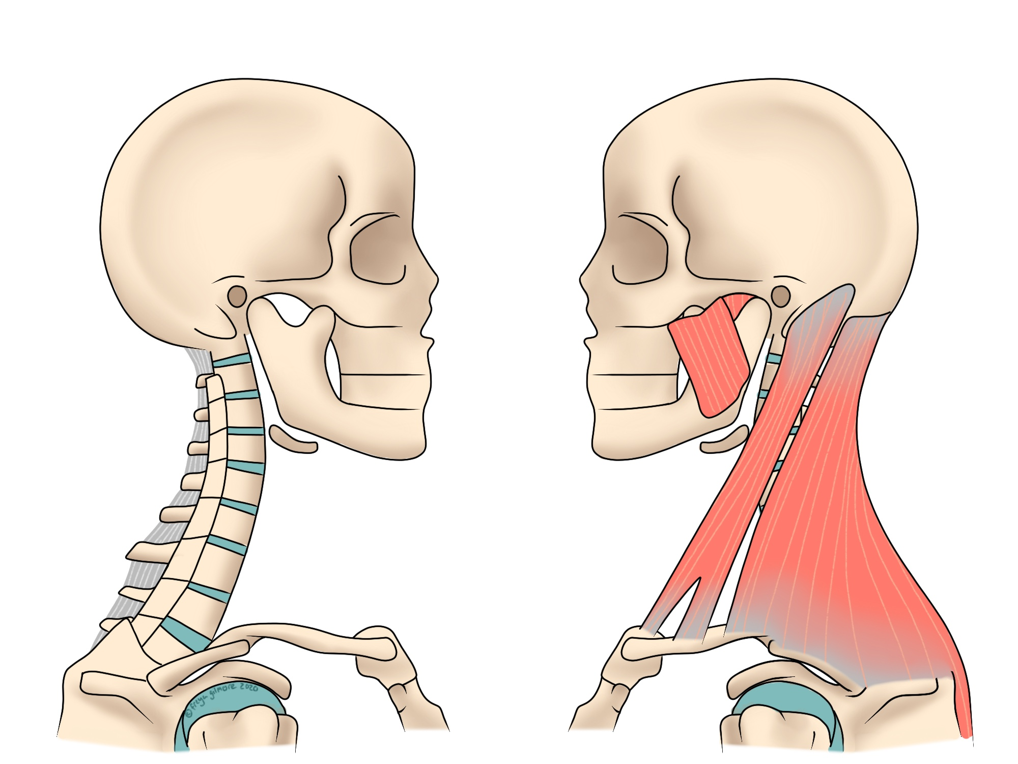 Anatomy of the head and neck with potentially causes of neck pain
